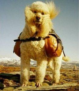 store hunder med masse hår